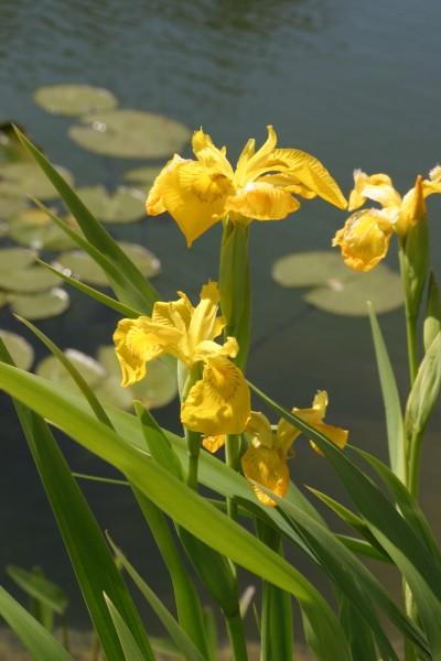 Iris pseudácorus (лат.) - Ирис ложноаировый (также ирис жёлтый, ирис болотный, ирис водяной, ирис аировидный)