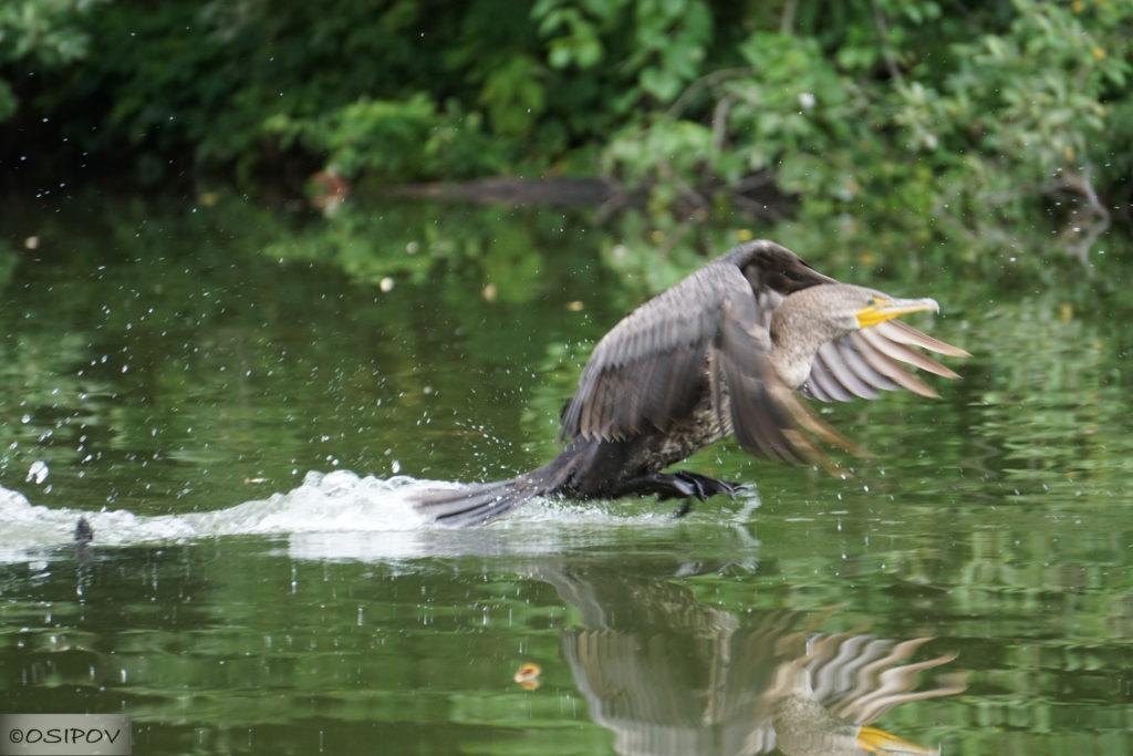 Птенец баклкна. Great Cormorant (Phalacrocorax carbo)